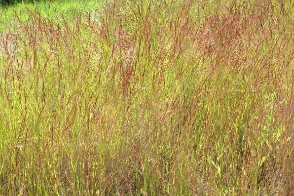 A meadow of green, golden and orange grasses in the San Juan Islands. Photo by Barbara Newhall