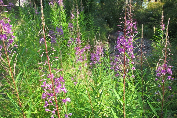God-given wildflowers. A stand of pink fireweed grows six feet tall at the edge of a San Juan Islands woods. Photo by Barbara Newhall