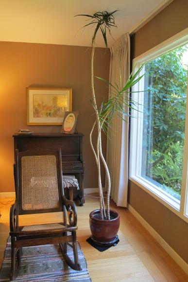 The Slender Stalks Of A Dracena Marginata Growing Too Talk For Their Living Room Setting