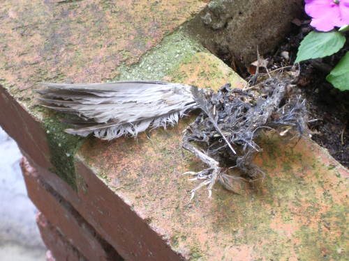 The remains of a dead bird, probably killed by a domestic cat, lie on a brick wall with a camellia blossom. Photo by Barbara Newhall